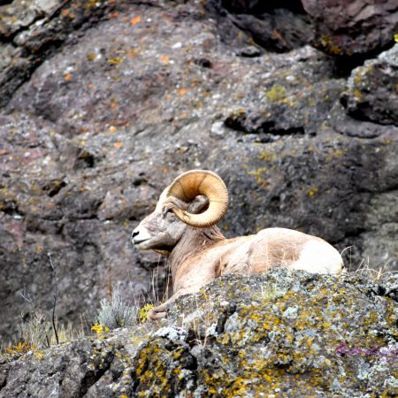 Bighorn Sheep - Ruth Jackson - Tendoy Fine Art